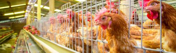 Las 5 razones por que comer huevo de libre pastoreo